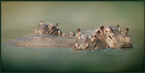 africa river botswana chobe hippos olay bej specanimal mauekay