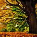 yellow maple by -liyen-