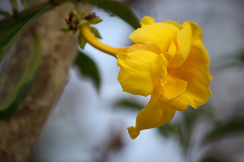 Yellow Flower, Cairns