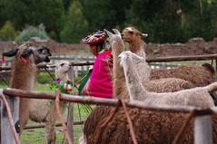 agriculture(0.0), arabian camel(0.0), alpaca(1.0), animal(1.0), farm(1.0), mammal(1.0), llama(1.0), camel(1.0),