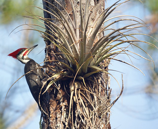 Pileated Woodpecker: Corkscrew Swamp Sanctuary