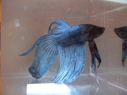 301 moved permanently for Male veiltail betta fish
