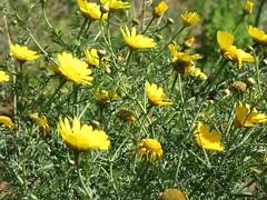 calendula(0.0), eschscholzia californica(0.0), chamaemelum nobile(0.0), flatweed(0.0), lawn(0.0), prairie(1.0), flower(1.0), yellow(1.0), plant(1.0), herb(1.0), wildflower(1.0), flora(1.0), sulfur cosmos(1.0),
