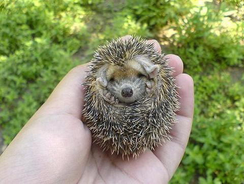 baby-hedgehog-2