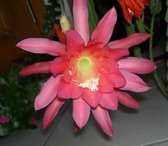 Epiphyllum & Echinopsis etc - Toby