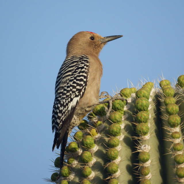 Gila Woodpecker | Flickr - Photo Sharing!
