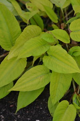 PERSICARIA amplexicaulis 'Cottesbrooke Gold'