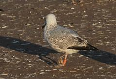 Goéland argenté - Larus argentatus - Herring Gull - 2:CJX
