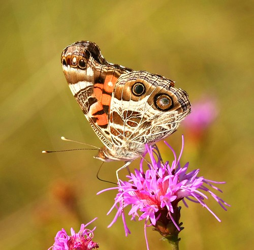 butterfly asteraceae liatris blazingstar richmondcounty liatrisspicata vanessavirginiensis
