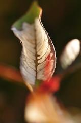 半ば枯れ葉 (a half-dead leaf)