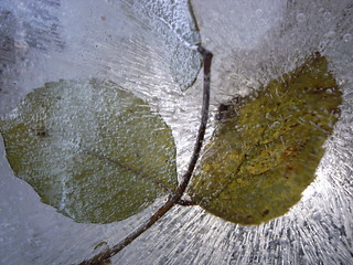 Frozen Leaf 1