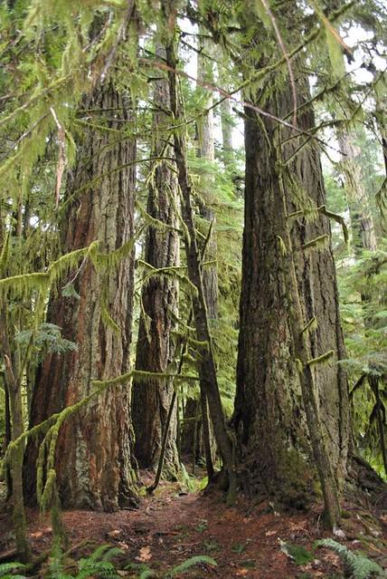 Giant Douglas Fir Trees