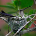 Nesting Anna's hummingbird by Michael Layefsky
