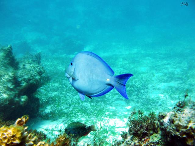Caribbean Fish : Caribbean fish Flickr - Photo Sharing!