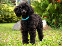puppy(0.0), schnoodle(0.0), boykin spaniel(0.0), pumi(0.0), lagotto romagnolo(0.0), poodle crossbreed(0.0), cockapoo(0.0), goldendoodle(0.0), spanish water dog(0.0), barbet(0.0), toy poodle(1.0), miniature poodle(1.0), standard poodle(1.0), dog breed(1.0), animal(1.0), dog(1.0), pet(1.0), irish water spaniel(1.0), poodle(1.0), portuguese water dog(1.0), american water spaniel(1.0), carnivoran(1.0),