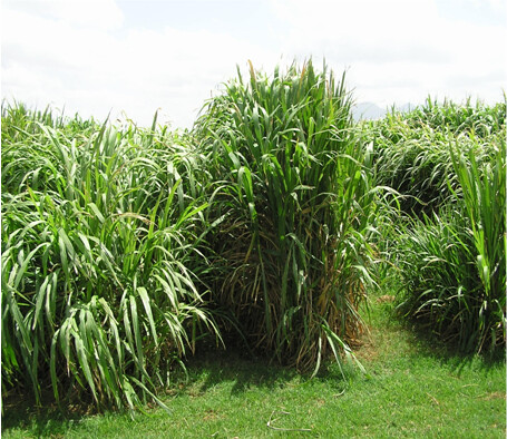 Healthy Napier grass