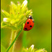 Keep Climbing Up and Up - Ladybug in My Backyard N1835e