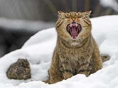 Wildcat widely yawning
