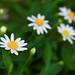 !@#$ daisies by Hudsӧn