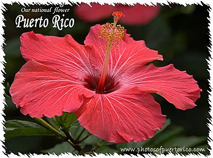 FLOR DE MAGA  Flor Nacional de PUERTO RICO   Jardinera