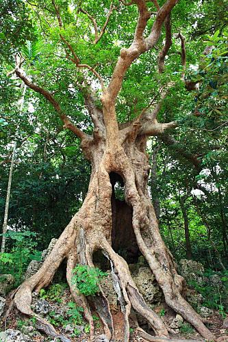 03T2墾丁國家森林遊樂區-茄冬巨木