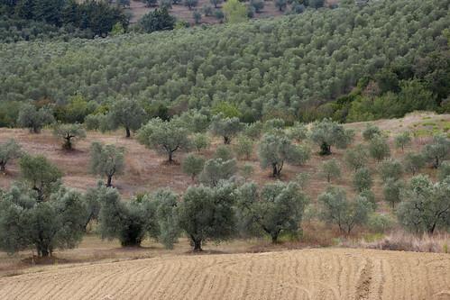 L'oliveto della Tenuta