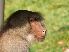 macaque(0.0), animal(1.0), baboon(1.0), monkey(1.0), mammal(1.0), fauna(1.0), close-up(1.0), old world monkey(1.0), new world monkey(1.0), ape(1.0), wildlife(1.0),