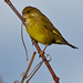 European Greenfinch - Photo (c) Roque 141, some rights reserved (CC BY-NC)
