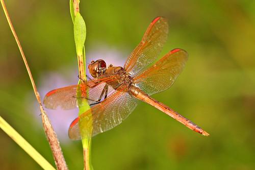 dragonfly 1001nights richmondcounty goldenwingedskimmer libellulaauripennis nrothcarolina