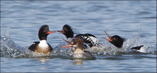 Three male red-breasted mergansers pursue a female