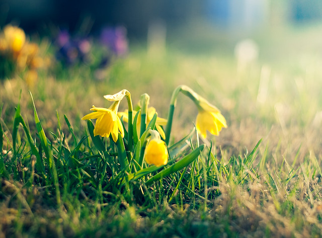 yellow, flower, garden, springplant