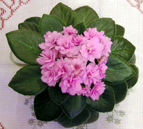 African Violet Tiny Pink