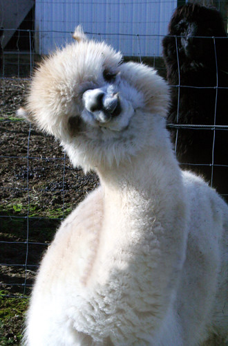 Smiling Alpaca | Explore kkhymn's photos on Flickr. kkhymn ...