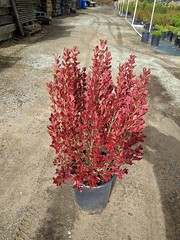 Coporosma 'County Park Red' 5g -bm SKU 1001-724-797