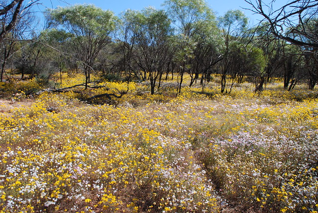 Flowers at Coalseam Conservation Park WA