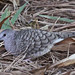 Inca Dove - Photo (c) Jerry Oldenettel, some rights reserved (CC BY-NC-SA)