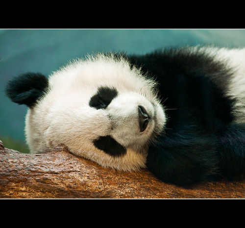 Napping Panda, Hidden Dragon