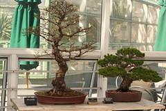 Chinese Elm and Japanese White Pine bonsai