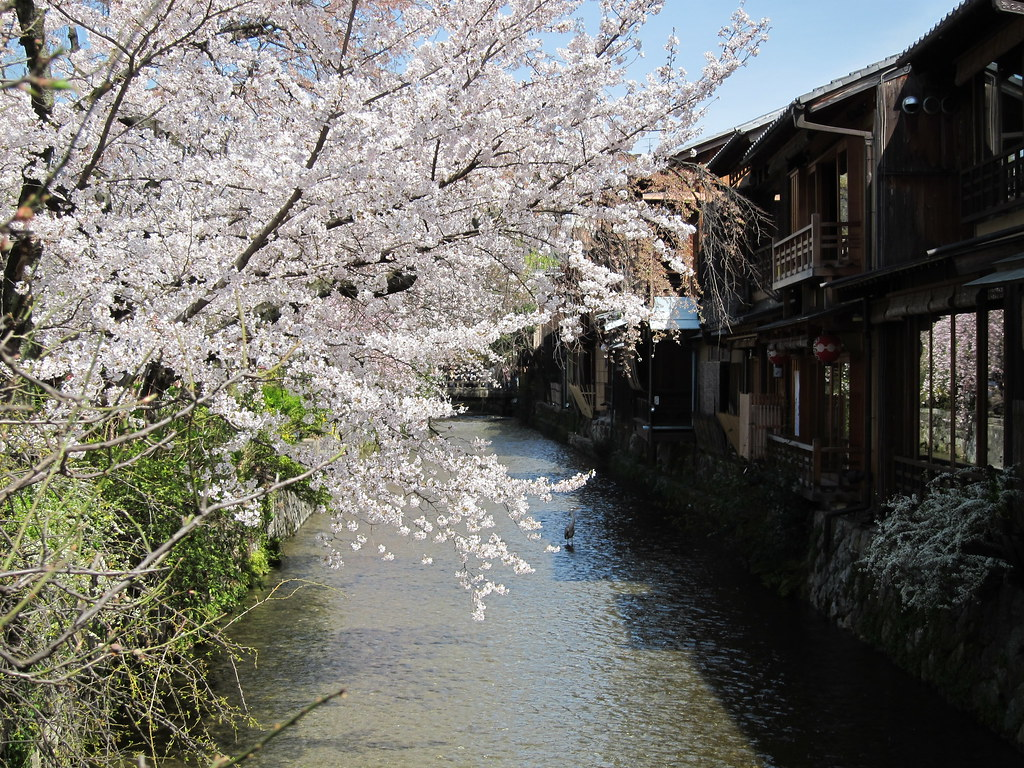 Cherry blossoms and Shirakawa river at Gion area in Kyoto, Japan; 桜と白川、祇園、京都