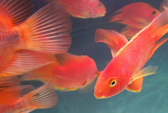 Red parrot fish heads and tails flickr photo sharing for Red parrot fish