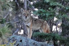 cougar(0.0), czechoslovakian wolfdog(0.0), grey fox(0.0), saarloos wolfdog(0.0), kit fox(0.0), animal(1.0), canis lupus tundrarum(1.0), gray wolf(1.0), red wolf(1.0), mammal(1.0), fauna(1.0), wolfdog(1.0), coyote(1.0), wildlife(1.0),