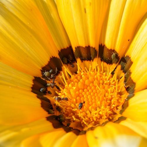 brown sunlight flower macro fall nature yellow fauna garden insect petals flora colorful ant maryland gazania pollen 2009 yelloworange nikond90 105mmf28vrlens