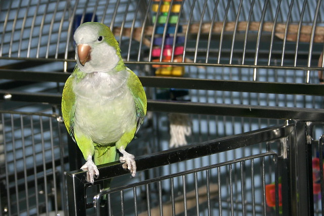 Scooter the Quaker Parrot
