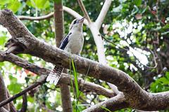 kookaburra
