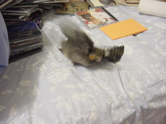 Testing Cockatiel Flight 94