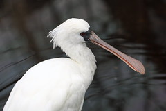 stork(0.0), great egret(0.0), white stork(0.0), egret(0.0), animal(1.0), wing(1.0), fauna(1.0), close-up(1.0), ciconiiformes(1.0), beak(1.0), spoonbill(1.0), bird(1.0), wildlife(1.0),