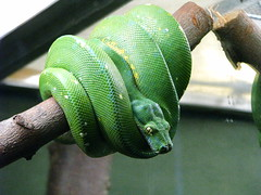 animal, western green mamba, snake, reptile, green, fauna, scaled reptile,