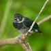 Variable Seedeater - Photo (c) Brian Gratwicke, some rights reserved (CC BY)