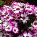 florist's cineraria - Photo (c) Kai Yan,  Joseph Wong, some rights reserved (CC BY-NC-SA)