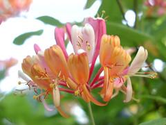 honeysuckle, flower, leaf, plant, macro photography, wildflower, flora, petal,